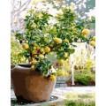 GX7551 Лимонное дерево