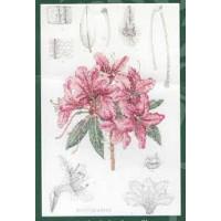 Anchor RHS03 Rhododendron villosum (Рододендрон)